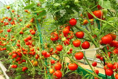 Red tomatoes in a greenhouse. Red tomatoes growing in a polycarbonate greenhouse Royalty Free Stock Photo