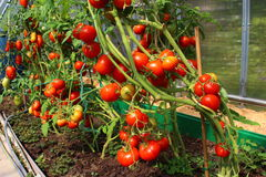 Red tomatoes in a greenhouse. Red tomatoes growing in a polycarbonate greenhouse Royalty Free Stock Image