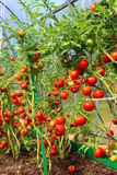 Red tomatoes in a greenhouse. Red juicy tomatoes ripening in the greenhouse Royalty Free Stock Photo
