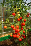 Red tomatoes in a greenhouse. Red juicy tomatoes ripening in the greenhouse Stock Photos