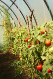 Red tomatoes in the greenhouse. Red tomatoes on a branch in the greenhouse Stock Photos