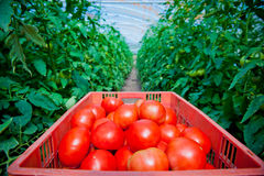 Red tomatoes in greenhouse. Fresh red tomatoes in greenhouse Royalty Free Stock Photography