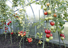 Red tomatoes in a greenhouse Stock Images