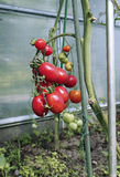 Red tomatoes in a greenhouse Royalty Free Stock Photography