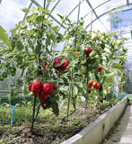 Red tomatoes in a greenhouse Royalty Free Stock Photos