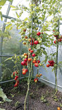 Red tomatoes in a greenhouse Royalty Free Stock Images