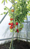 Red tomatoes in a greenhouse Stock Photography