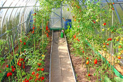 Red tomatoes in a greenhouse Stock Image
