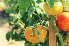 Red tomatoes Stock Image
