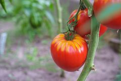 Red tomatoes growing in greenhouse royalty free stock images