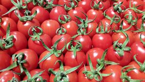 Red tomatoes. Harvest ripe red tomatoes