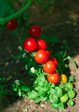 Red tomatoes in hothouse Royalty Free Stock Images