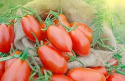 Fresh red plum tomatoes. Red tomatoes of oval shape. Ripe long plum tomatoes Stock Photography