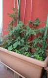Red tomatoes plant and basil plants in the pot of the urban vege. Lush red tomatoes plant and some basil plants in the pot of the urban vegetable garden royalty free stock photos