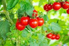Free Red Tomatoes Plant Growth In Organic Greenhouse Garden Ready To Harvest Stock Photography - 144652062