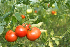 Red tomatoes ripening in greenhouse Royalty Free Stock Image