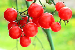 Red tomatoes still on the plant Royalty Free Stock Images