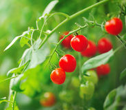 red tomatoes still on tree plant Stock Photos