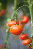 Red tomatoes Royalty Free Stock Photos