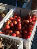 Red tomatoes. Tomatoes in the basket for sell Royalty Free Stock Image