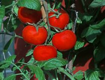 Red tomatoes in the vegetable garden Stock Photo