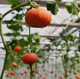 Red tomatoes and pumpkins in vegetable greenhouse. Very big red tomatoes on vine. Lots of tomatoes look like lantern Stock Image