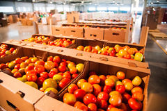 Red tomatoes on vegetable processing factory Royalty Free Stock Photos