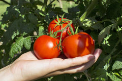 Red tomatoes on vine. Hand holding red tomatoes on vine Royalty Free Stock Images