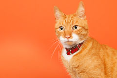 Red tomcat on orange background Stock Photo