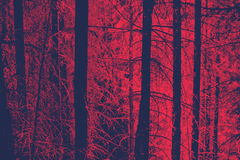 Red Toned Bare Tree Trunks in Evergreen Forest Royalty Free Stock Photos