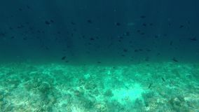 Red-toothed triggerfish swim over a reef edge stock footage