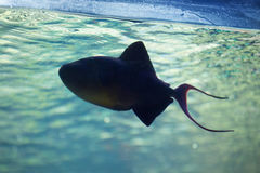 Red-toothed triggerfish (Odonus niger). Royalty Free Stock Photography