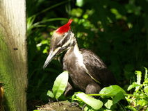 Red Top WoodPecker Stock Image