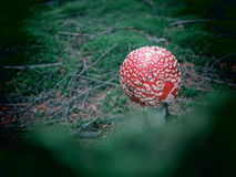 Red topped white spotted toadstool Royalty Free Stock Images