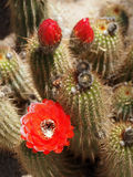 Red Torch Cactus with Flower and Buds stock images