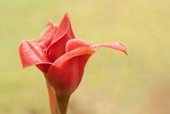 Red torch ginger bud, Etlingera elatior Royalty Free Stock Images