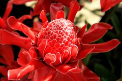 The red Torch Ginger flower are colorful and blossoming. Stock Photos