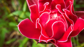 Red Torch Ginger Flower, Kao Sok, Surathani, Thailand. Red Torch Ginger Flower, Kao Sok, Sura Thani, Thailand Royalty Free Stock Image