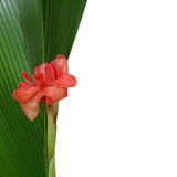 Red Torch Ginger flower with raindrops on green palm leaf and wh Stock Image