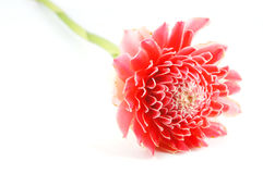 red torch ginger. Stock Image