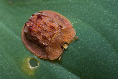 A red tortoise beetle Stock Photography