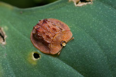 A red tortoise beetle on green leaf Royalty Free Stock Image
