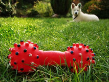 Red toy with dog. This is plastic red toy for chewing by dog, which is laying on the grass in the garden royalty free stock image