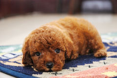 Red Toy poodle Royalty Free Stock Photography