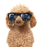 Red Toy Poodle Royalty Free Stock Images