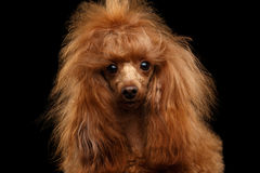 Red Toy Poodle Dog on Isolated Black Background. Portrait of Red Toy Poodle Dog Curious Looking in Camera on Isolated Black Background, front view stock photos