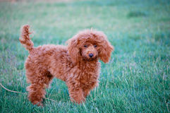 Red Toy Poodle Outdoors Stock Images