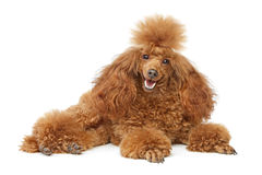 Red toy poodle puppy royalty free stock photos