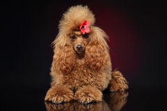 Red toy poodle puppy Royalty Free Stock Photo