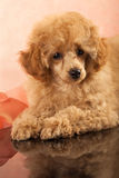 Red Toy Poodle puppy Stock Photos